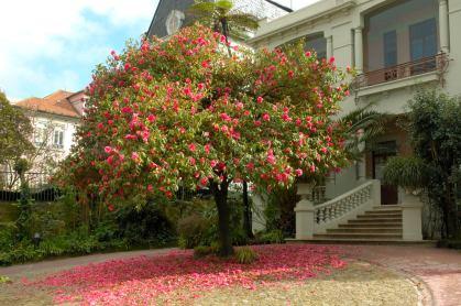 AvBoavista-Camellia-reticulata1